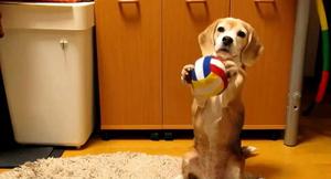 Dog toy catch