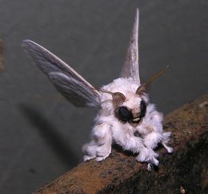 Nos amis les papillons (symbolique) - Page 3 Moth