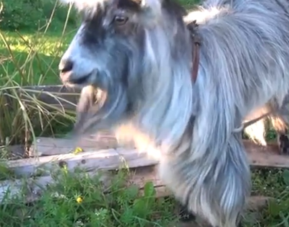 This goat can beatbox...