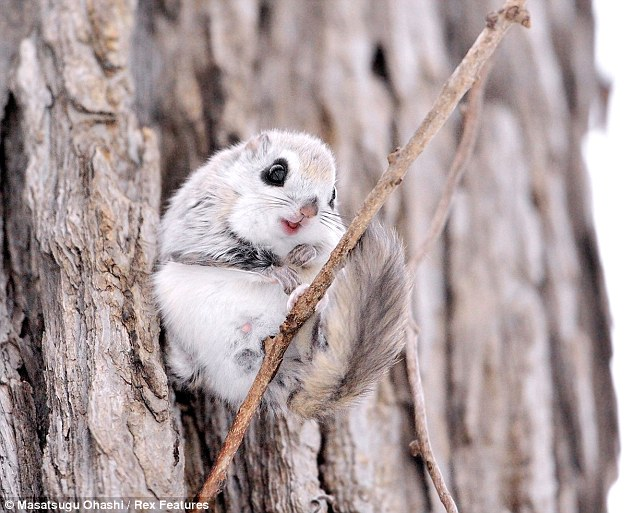 Siberian-Flying-Squirrels-01
