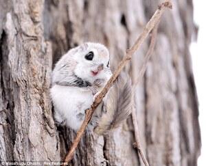 Siberian-Flying-Squirrels-01
