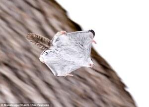 squirrelflying