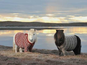 shetland-pony-sweater-scotland