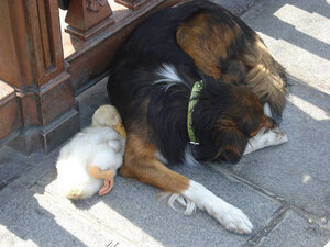 dog-and-duck-friendship-paris-1