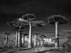 Avenue-of-the-Baobabs