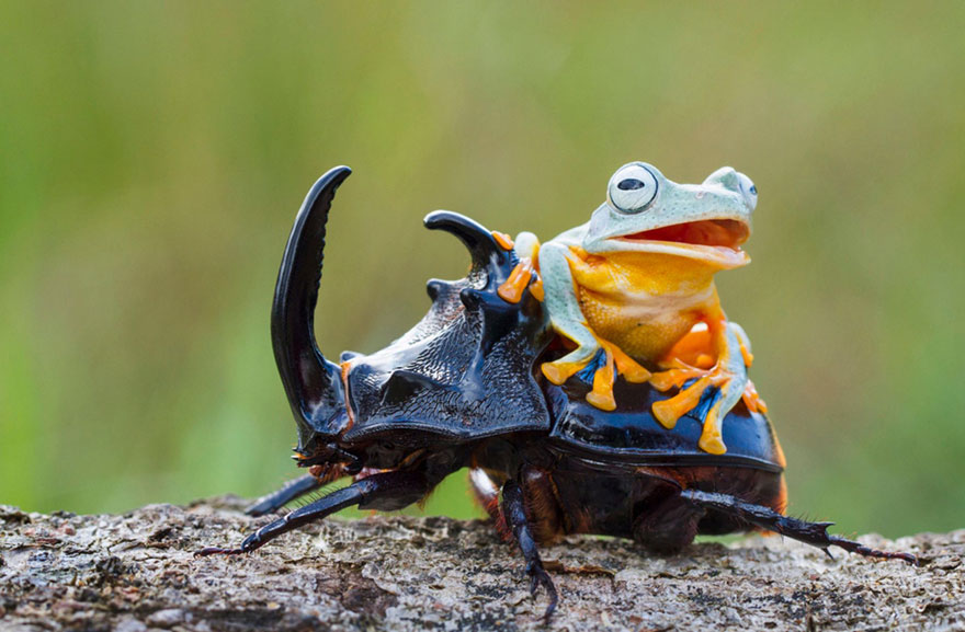 frog-riding-beetle-hendy-mp-6