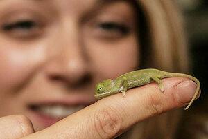 cute-baby-chameleons-hatch-taronga-zoo-sydney-13