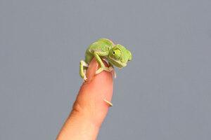 cute-baby-chameleons-hatch-taronga-zoo-sydney-3