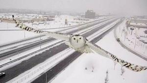 snowyowlmtl1