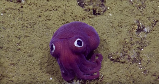 googlysquid2