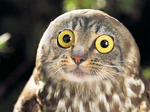 owl-cat2