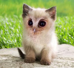 owl-cat6