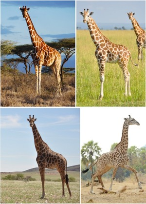 giraffe-species