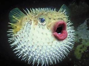 Puffer fish with donald trump s mouth for How much is a puffer fish