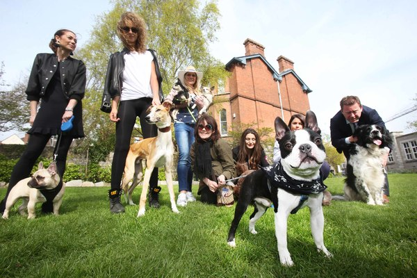 NO REPRO FEE 11/4/2017. George a Boston Terrior arrives at the Dylan Hotel Dublin with other dogs and the owners for a doggy Brunch hosted by Pettura in the hotel.photo; Leon Farrell/Photocall Ireland.