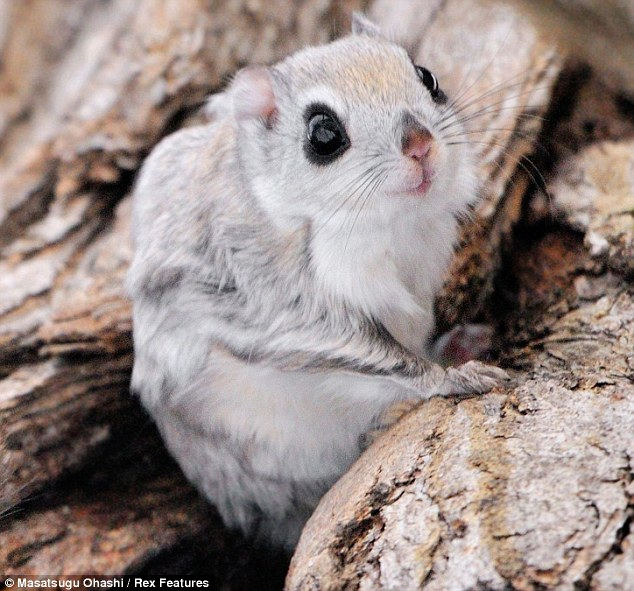 Siberian-Flying-Squirrels-03