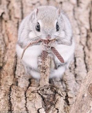 Siberian-Flying-Squirrels-05