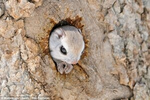 Siberian-Flying-Squirrels-06