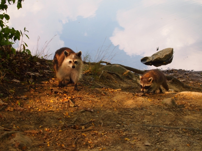 small_rock flying over a raccoon