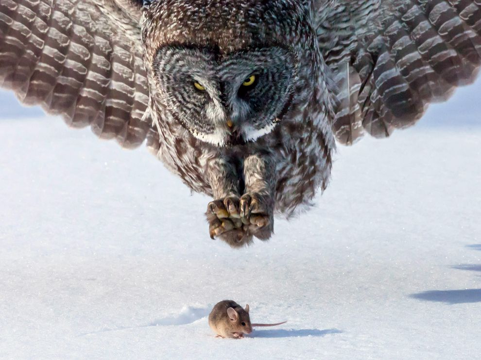 gray-owl-mouse_65519_990x742