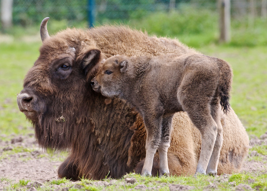 Fota baby bison.