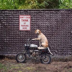 maddie-the-coonhound-4-685x685