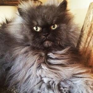 Colonel-Meow-No-Petting-640x640
