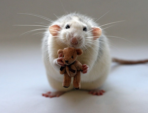 rat5e