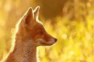 foxes-roeselien-raimond-6