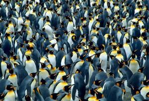 1Amazing-Animals-Colonies-pingouins-640x433