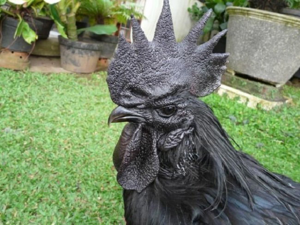 Rare-All-Black-Chickens-1