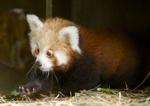 ND1409-Sep445 Fota Bonnie Red Panda.