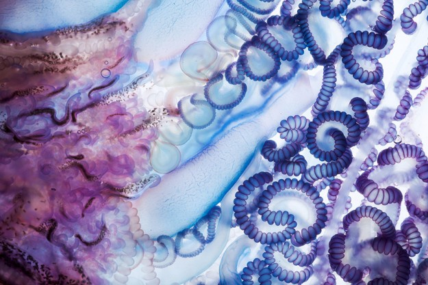 aaron-ansarov-deadly-beauty-portuguese-man-of-war-designboom-04
