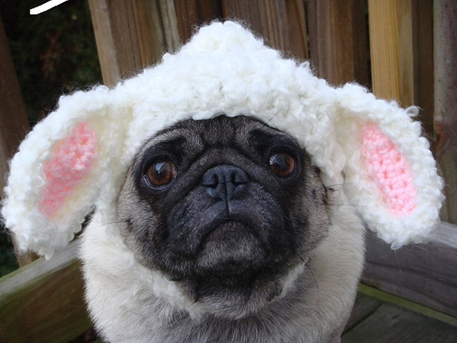 silly-hat-pug10