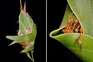 australian weaver ant