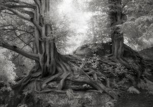 Wakehurst-Yews
