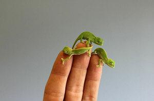 cute-baby-chameleons-hatch-taronga-zoo-sydney-8