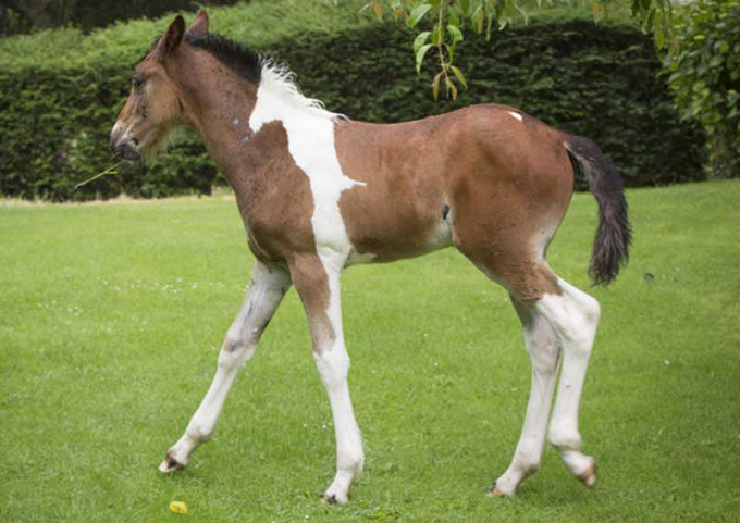 Horse-Born-with-a-White-Patch-That-Looks-Like-Another