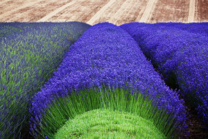 lavender-fields-harvesting-5
