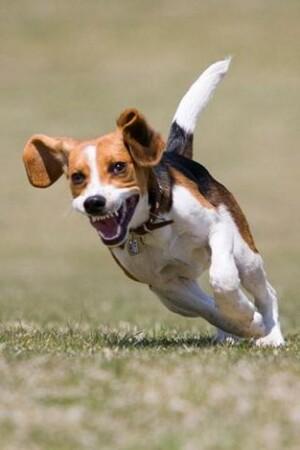 beagle-small-hunting-dog-395749-4-s-307x512