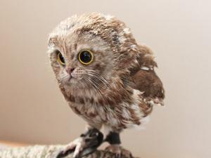 owl-cat16