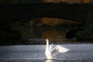 2/2/2017. Swan Lake. Pictured a Swan flaps its wings in St Stephens Green in Dublin this morning after a morning rain. shower Photo: Sam Boal/Rollingnews.ie