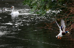 2/2/2017. Swan Lake. Pictured Ducks and Swans in St Stephens Green in Dublin this morning after a morning rain. shower Photo: Sam Boal/Rollingnews.ie